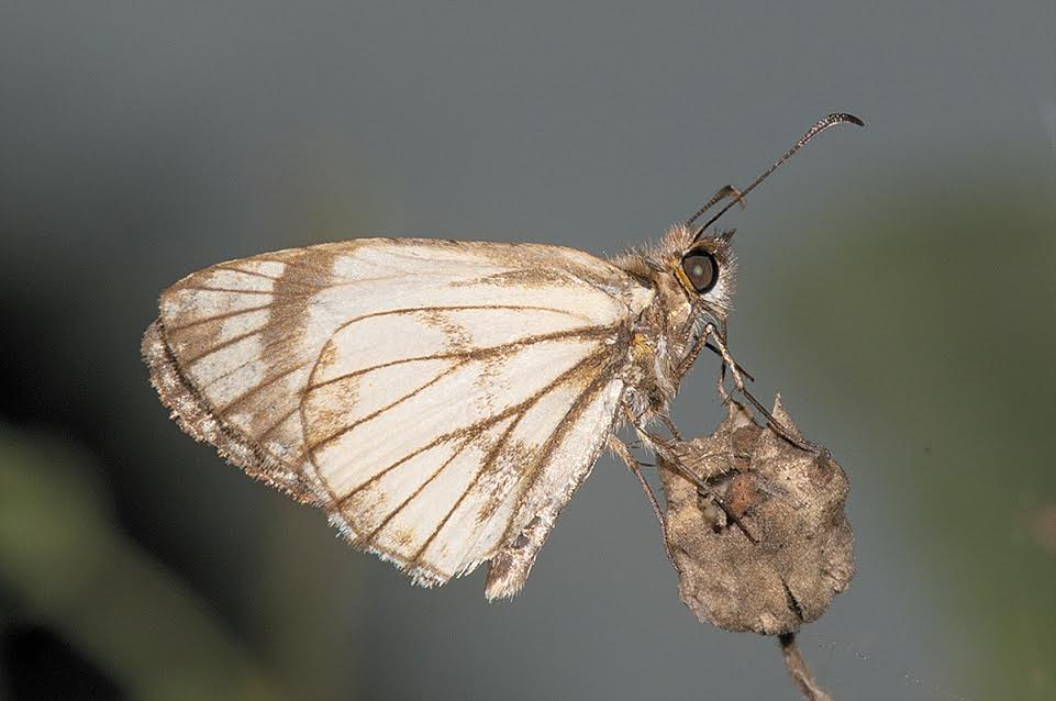 20161128 CMYK Butterfly Center Alana White Skipper RARE LEG9196